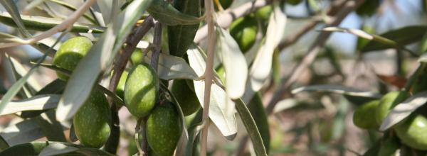 sagra oliva coriano