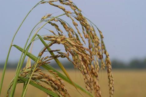 festa nazionale del riso