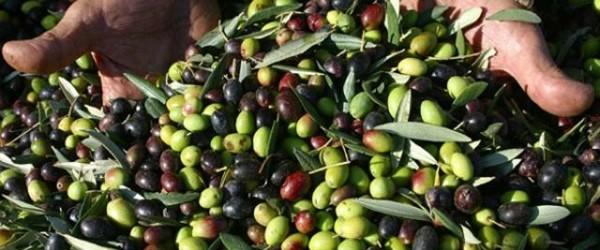 Fiera dell'Oliva e dei prodotti Autunnali Coriano