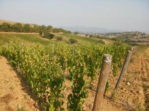 le vigne di prosecco
